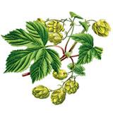 Humulus_Sturm_Deutschlands-Flora-in-Abbildungen-(1796)