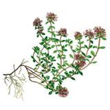 Thymus_serpyllum_Flora-von-Deutschland-Österreich-und-der-Schweiz-(1885)
